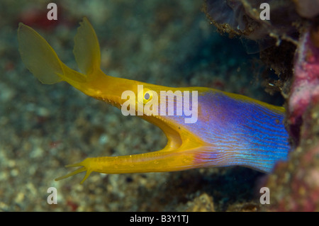 Blue Ribbon Eel Rhinomuraena quaesita in Lembeh Strait Indonesia - Stock Photo