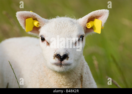 Hausschaaf young Sheep - Stock Photo