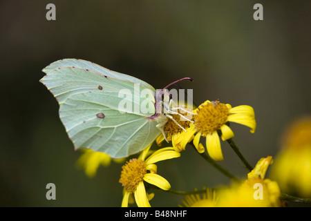 brimstone butterfly Gonepteryx rhamni female feeding - Stock Photo