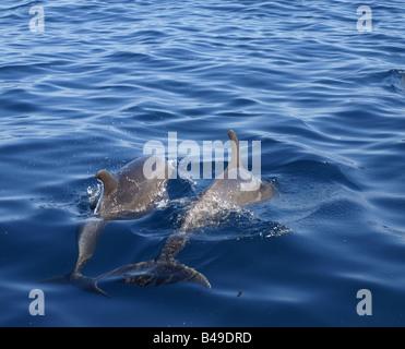 Dolphins by the Wainae coast of Oahu, Hawaii - Stock Photo