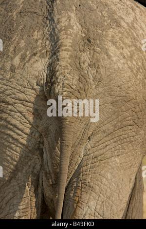 African Elephant Loxodonta africana tail and backside - Stock Photo