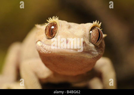 Crested Gecko Rhacodactylus ciliatus native to New Caledonia rediscovered in 1994 captive - Stock Photo