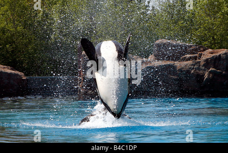 Killer Whale jumping out of the water doing a back flip - Stock Photo