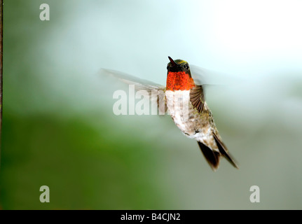 A male Ruby throated Hummingbird, Archilochus colubris, hovers in the air and dispays his red gorget. Oklahoma, - Stock Photo