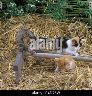 CAT, three farm kittens, tabby, ginger, tortoiseshell and white playing - Stock Photo
