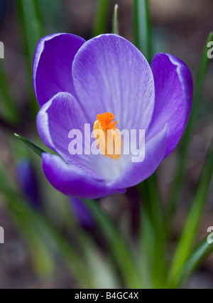Purple Crocus - Stock Photo