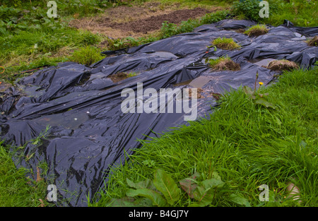 Black plastic used as a mulch to suppress weed growth on organic allotment UK - Stock Photo