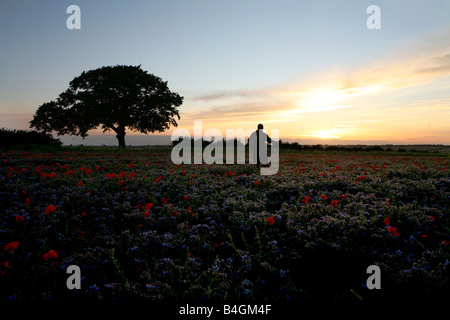 Poppy field in Lincolnshire at sunset - Stock Photo