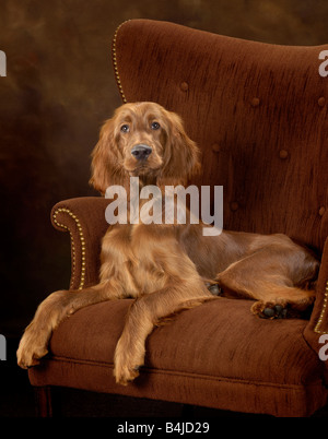 Irish Setter dog sitting in a wing backed chair - Stock Photo
