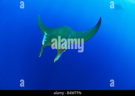 Mobula tarapacana Devil rays with Remora remora, Azores - Stock Photo