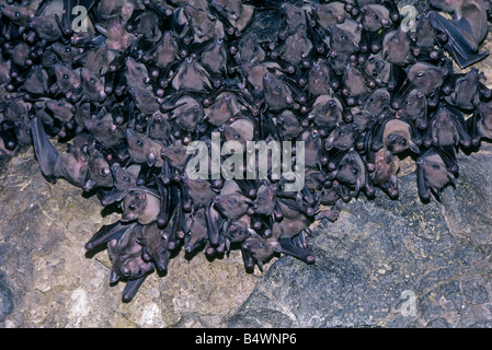 A group of flying foxes also known as fruit bats in a cave in the Seychelle Islands. - Stock Photo