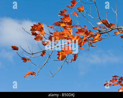 Red Maple Leafs against a brilliant blue sky - Stock Photo