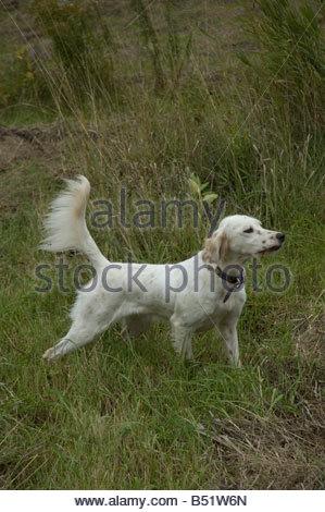 English Setter hunting dog on point - Stock Photo