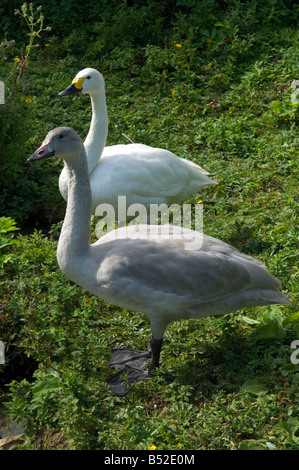Adult and juvenile Bewick's swans - Stock Photo