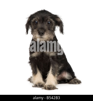 Standard Schnauzer puppy 10 weeks in front of a white background - Stock Photo