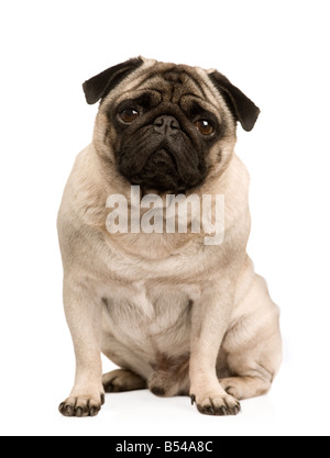 Pug 4 years in front of a white background - Stock Photo