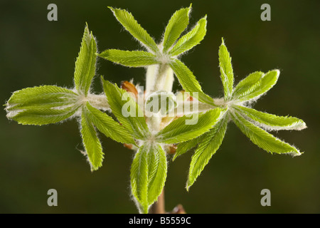 Horse chestnut (Aesculus hippocastanum) leaves emerging in spring - Stock Photo