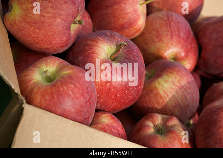 Red delicious apples in a box - Stock Photo