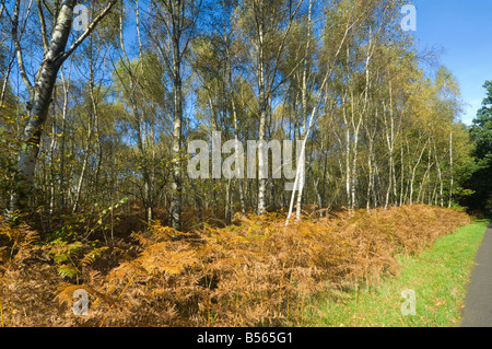Silver Birch Trees in Autumn Surrey UK - Stock Photo