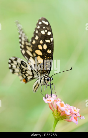 Papilio demoleus. Lime butterfly feeding on Lantana flowers in the Indian countryside. Andhra Pradesh, India - Stock Photo