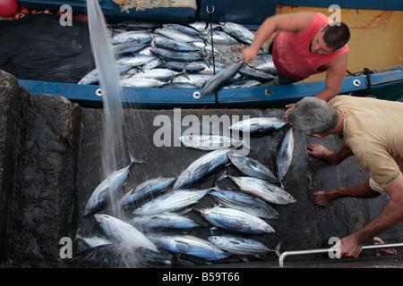 Bonito tuna fish being unloaded from the boats at Playa San Juan Tenerife Canary Islands Spain - Stock Photo