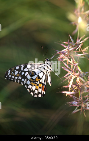 Papilio demoleus. Lime butterfly in amongst the long grass in the Indian countryside. Andhra Pradesh, India - Stock Photo
