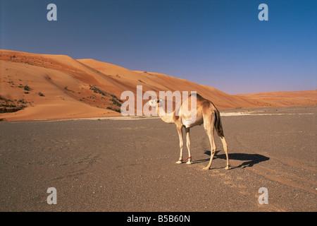Camel in the desert, Wahiba Sands, Sharqiyah region, Oman, Middle East - Stock Photo