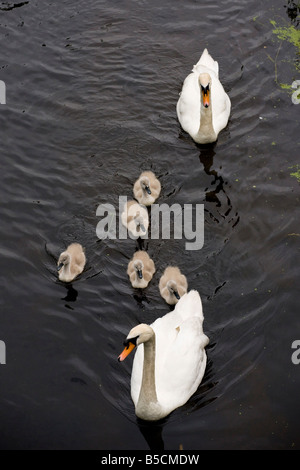 Mute Swan Cygnus olor adult and cygnets on the Lancaster Canal near Carnforth Lancs - Stock Photo