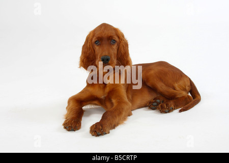 Irish Setter puppy 13 weeks Irish Red Setter - Stock Photo