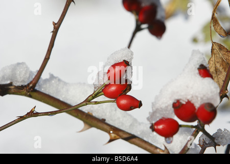 Red rose hips on a snow covered bush - Stock Photo