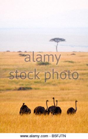 Female ostriches Masai Mara National Reserve Kenya - Stock Photo
