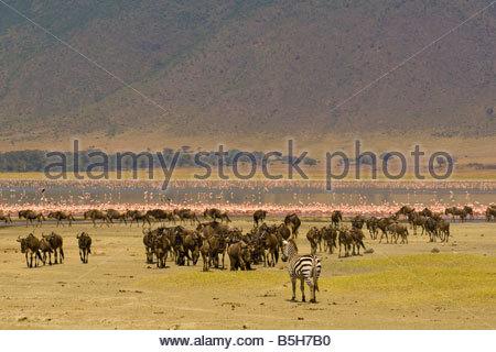 Wildebeest gnu and a zebra with flamingos on Lake Magadi in background Ngorongoro Crater Ngorongoro Conservation - Stock Photo