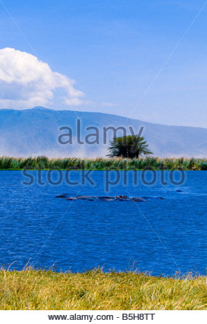 A bloat herd of hippos in a lake in Ngorongoro Crater Ngorongoro Conservation Area Tanzania - Stock Photo
