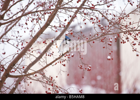 A blue jay sitting in a crab apple tree in the winter snow. - Stock Photo