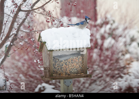 A blue jay sitting on a birdhouse in the snow. - Stock Photo