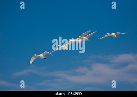 Hokkaido Japan Whooper Swans Cygnus cygnus flying in a formation over Lake Kussharo Akan National Park - Stock Photo