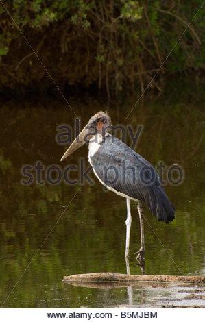 Maribou stork Serengeti National Park Tanzania - Stock Photo