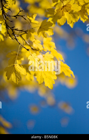 Field Maple in Autumn against a brilliant blue sky - Stock Photo