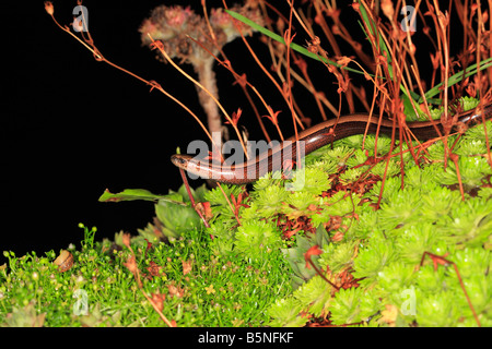 SLOWWORM Anguis fragilis HUNTING IN PLANT POT AT NIGHT - Stock Photo