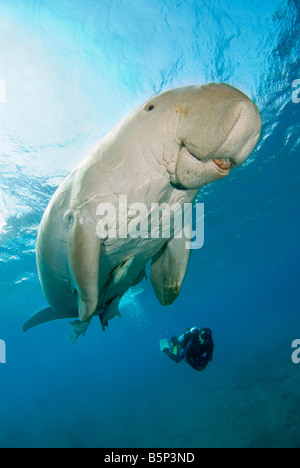 Dugong Sea Cow breathing on the surface scuba diver Gnathanodon Speciosus Egypt Red Sea Indian Ocean - Stock Photo