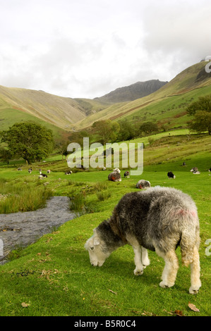 Herdwick ewe grazing alongside mountain stream Wasdale Cumbria - Stock Photo