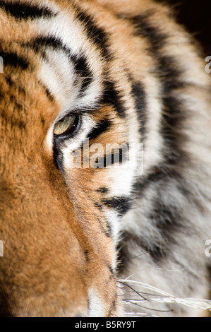 Siberian or amur tiger Panthera tigris altaica eye China - Stock Photo