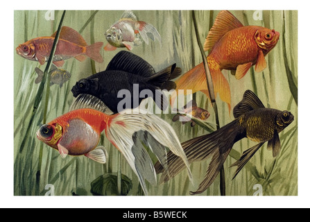 Goldfish, Carassius auratus domesticated fish aquarium fish water garden fish carp family Cyprinidae - Stock Photo
