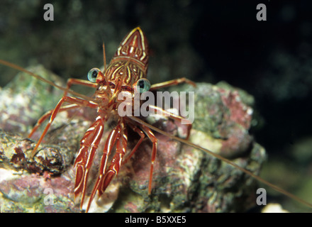 Durban Dancing Shrimp, Rhynchocinetes durbanensis, Crustacea - Stock Photo