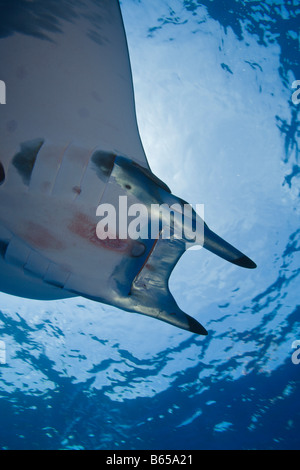 Sicklefin Mobula Mobula tarapacana Azores Princess Alice Bank Atlantic Ocean Portugal - Stock Photo