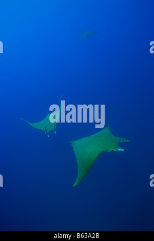 Sicklefin Mobulas Mobula tarapacana Azores Princess Alice Bank Atlantic Ocean Portugal - Stock Photo