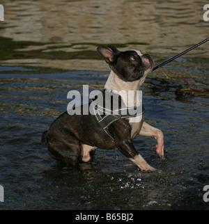 Boston terrier in water - Stock Photo