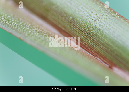 Palm leaf covered in small water droplets, close-up - Stock Photo