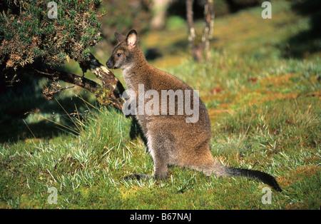 Bennetts Wallaby, Cradle Mountain Lake St. Clair National Park, Tasmania, Australia - Stock Photo