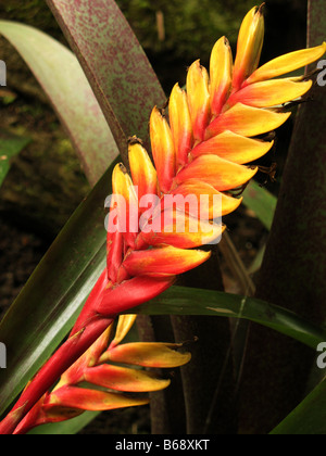 Inflorescence of a hybrid of the Vriesea carinata bromelia - Stock Photo